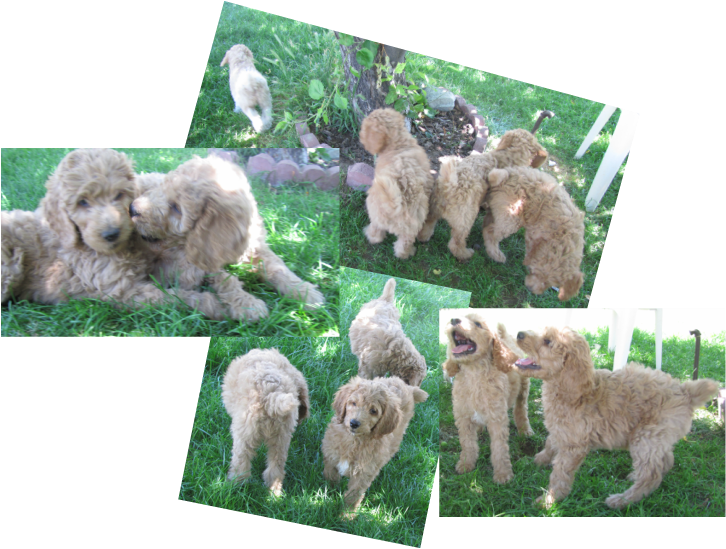 Continental clip toy poodle. Southeast idaho poodles home