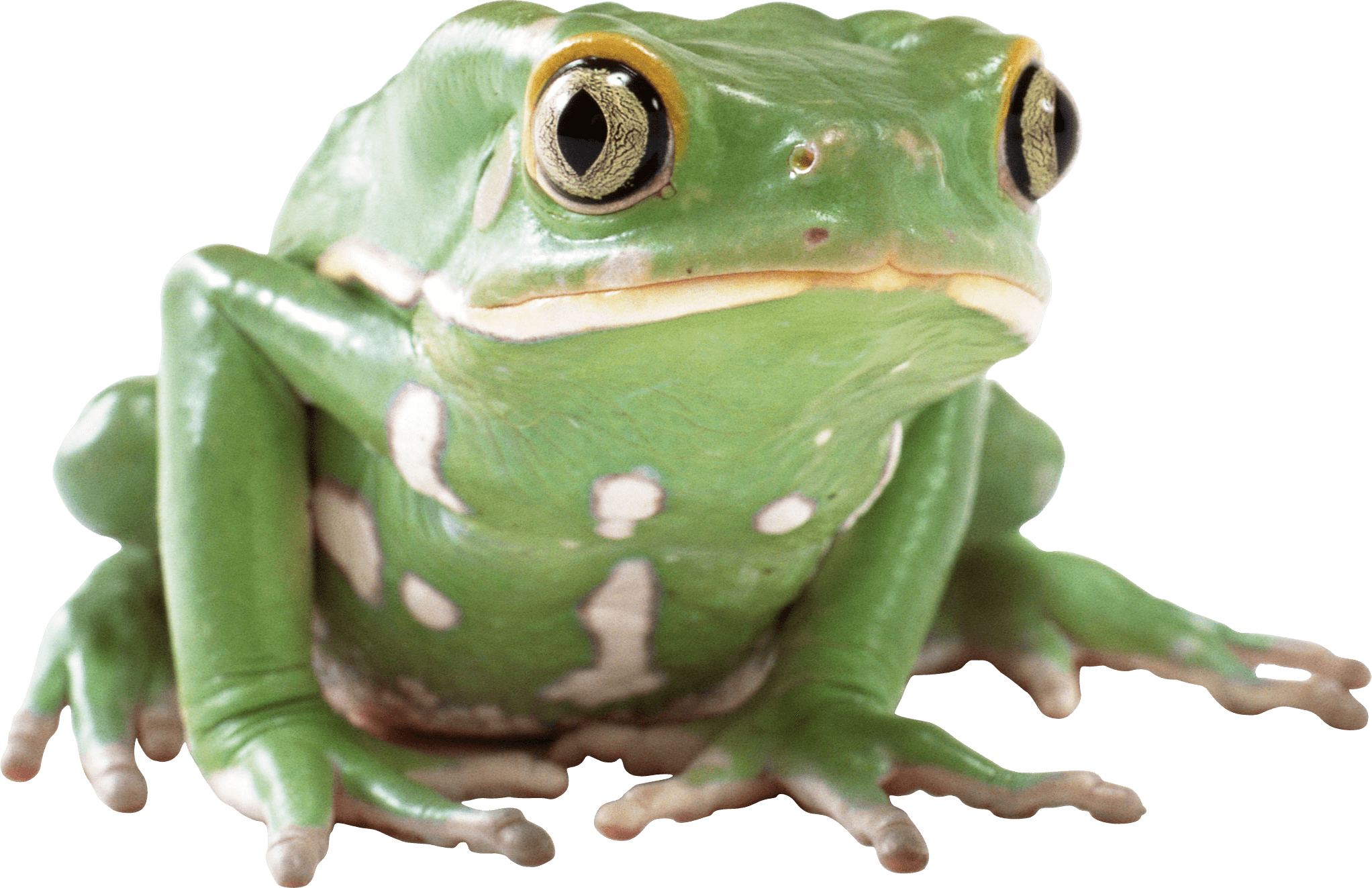 Wednesday frog png. Green transparent stickpng animals