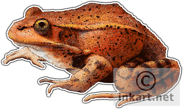 Coqui drawing red legged frog. Wildlife art frogs california