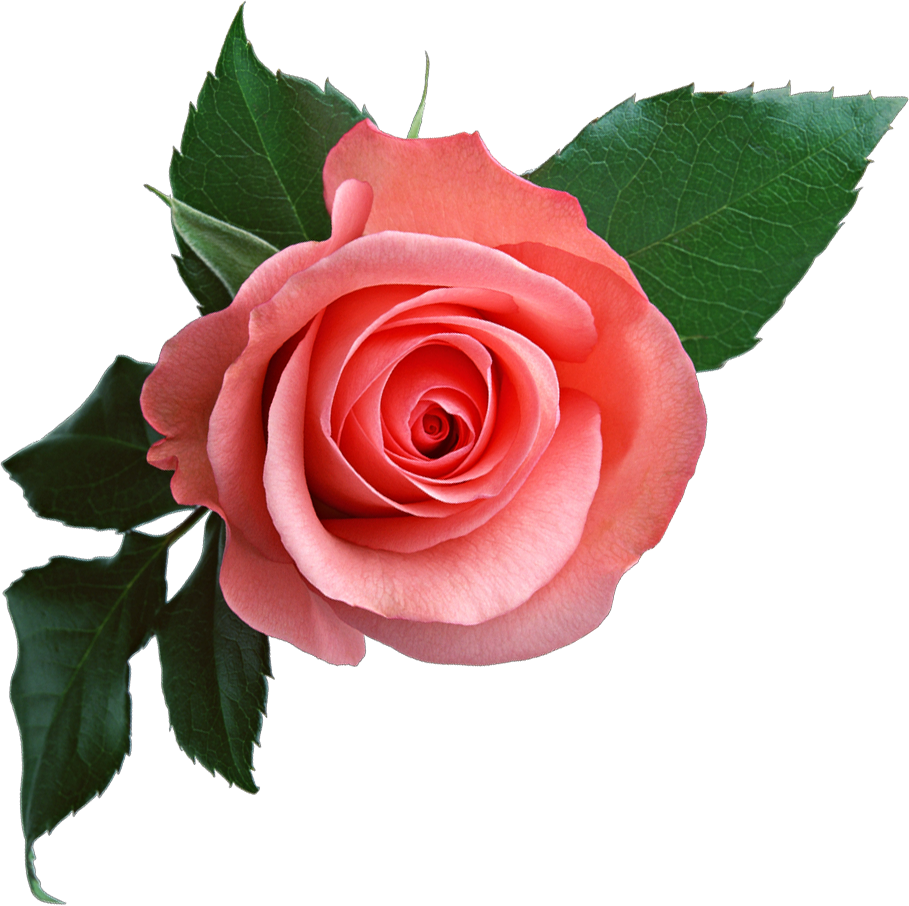 Coral flower png. Pink rose image free