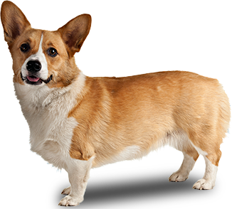 welsh corgi png