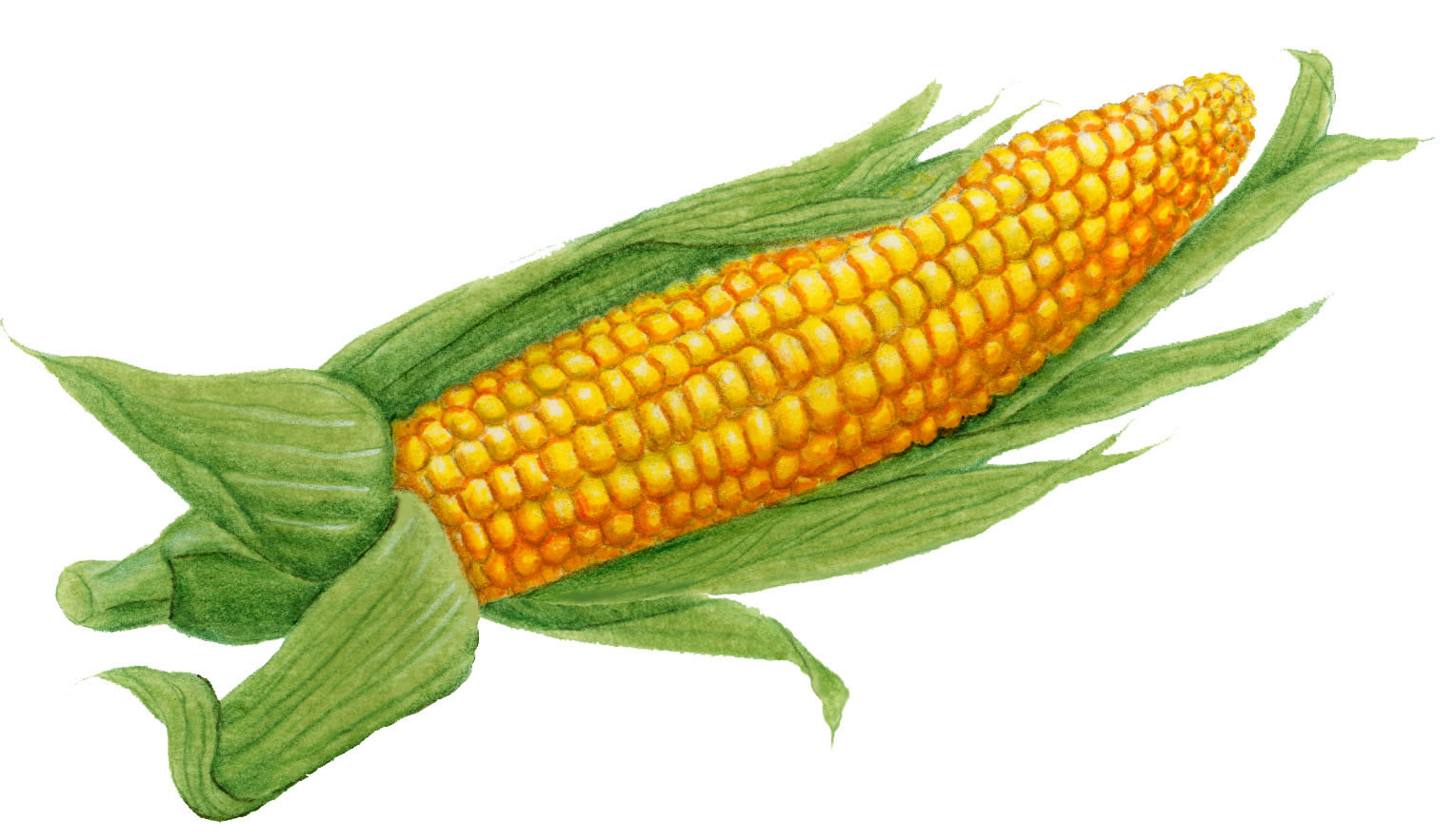 Corn clipart easy draw. Ear of drawing at