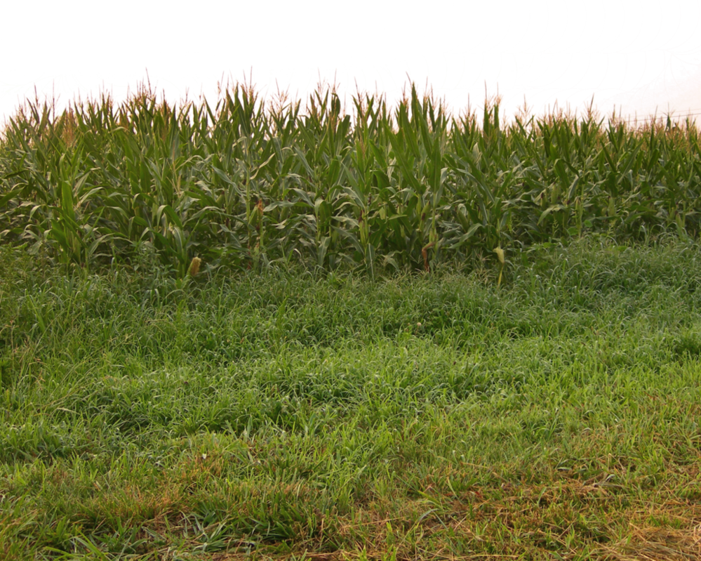 Corn field png. Cornfield by moonglowlilly on