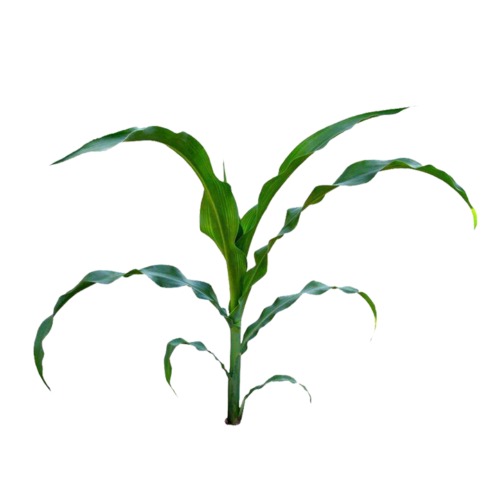 Corn field png. On the cob maize