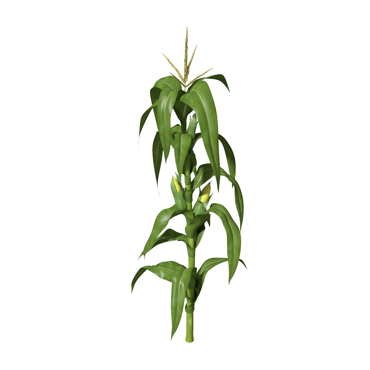 corn stalk png