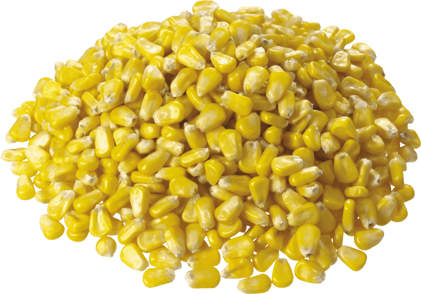 Corn png. Free images toppng transparent