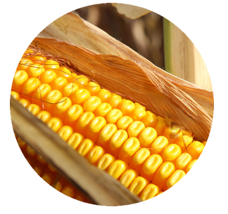 Corn png single. Different types of dent