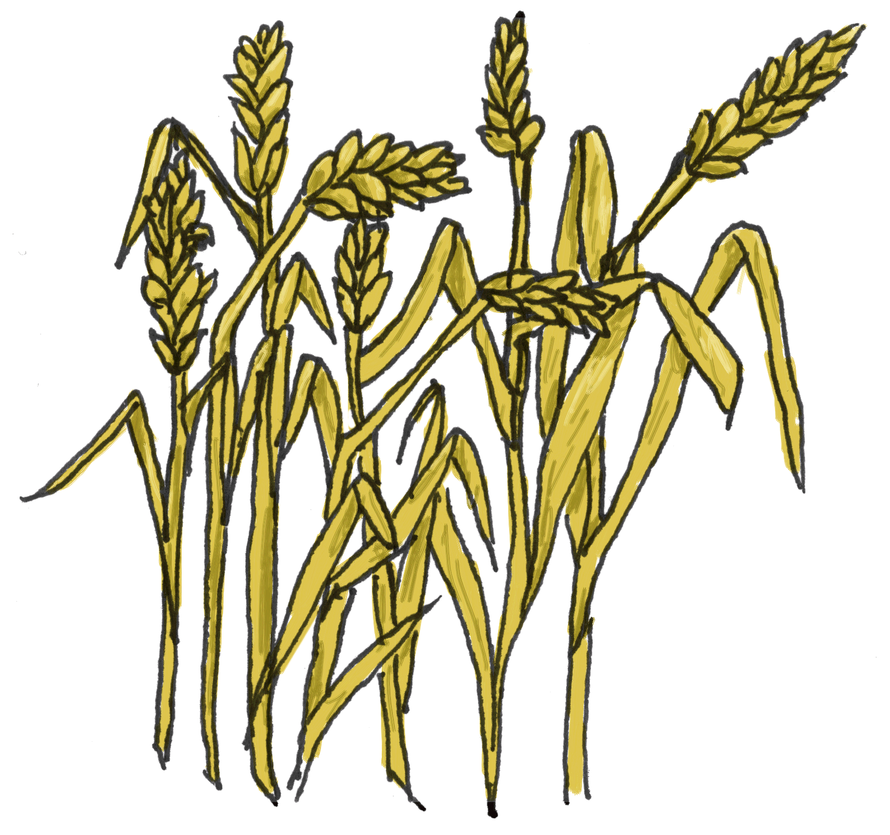 Cornfield drawing barley field. Clipart corn wheat free