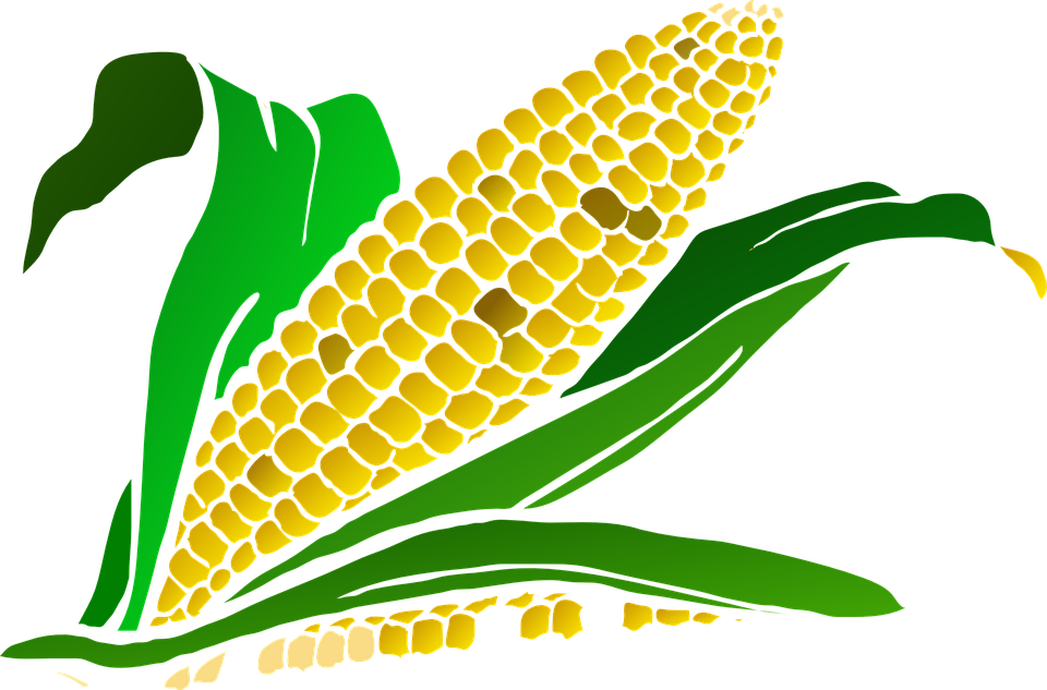 Cornfield drawing corn leave. Clipart harvesting crop patsy
