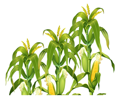 Cornfield drawing corn plant. Stalk image free