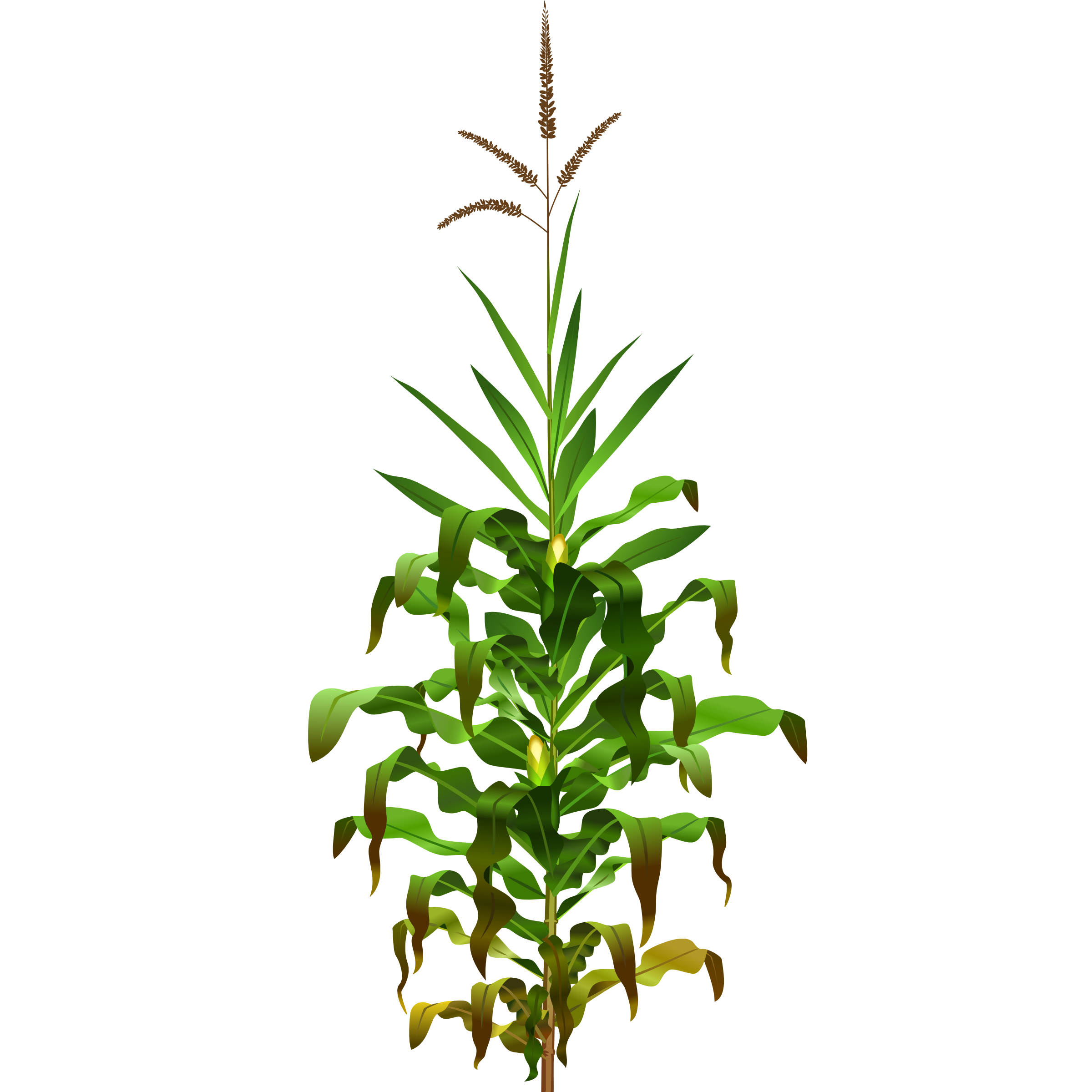 Cornfield drawing corn plant. Field clipart at getdrawings