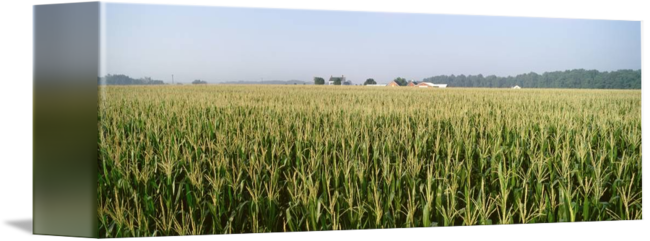 Cornfield drawing prairie. Md by panoramic images