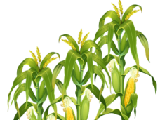 Cornfield vector clipart. Vegetables png images archives