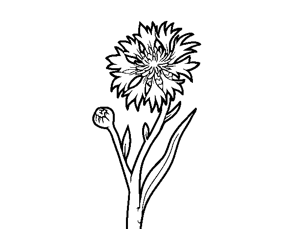 Cornflower drawing. Coloring page coloringcrew com