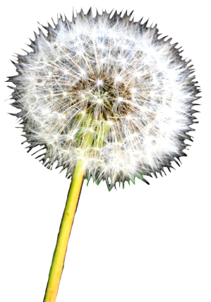 Dandelion transparent realistic. Flower image gallery useful