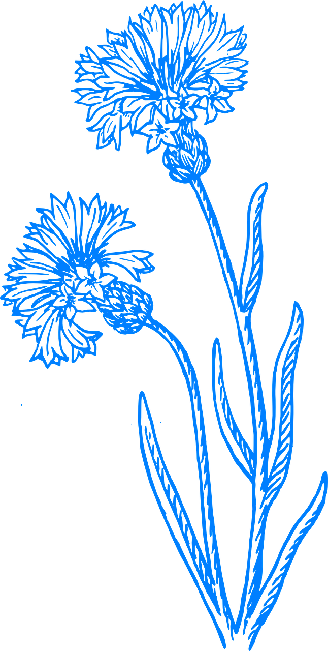 Cornflower drawing wildflower. How to draw a