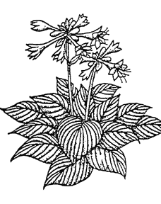 Peppermint drawing foliage plant. Perennials popes gardens hostas