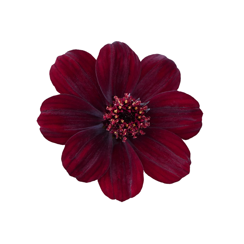 Cosmos flower png. Noble vii feminine edition