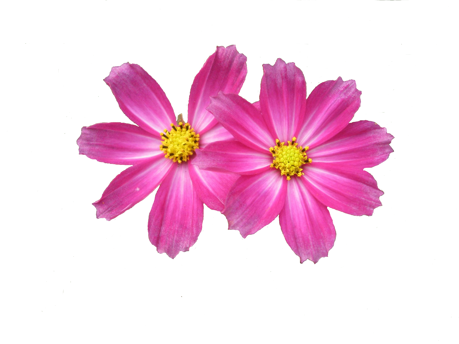 Cosmos flower png. Flowers all about eden