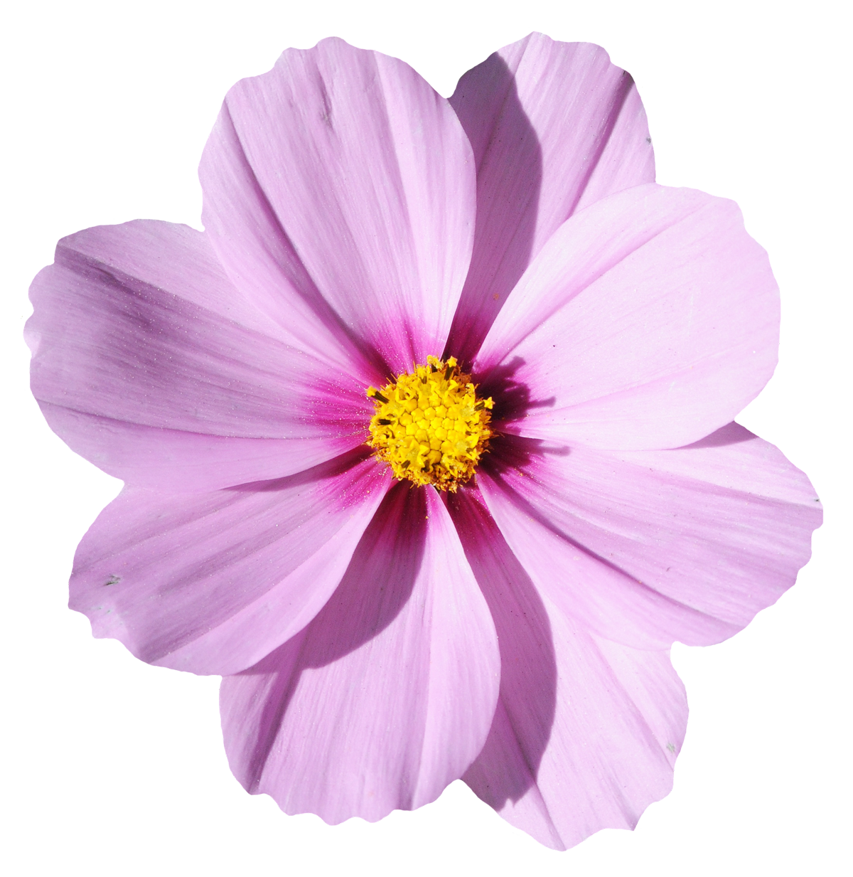 Cosmos flower png. Blossom image purepng free