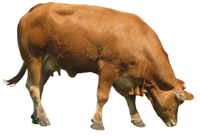Animal graphics brown . Cow clip art realistic picture free library