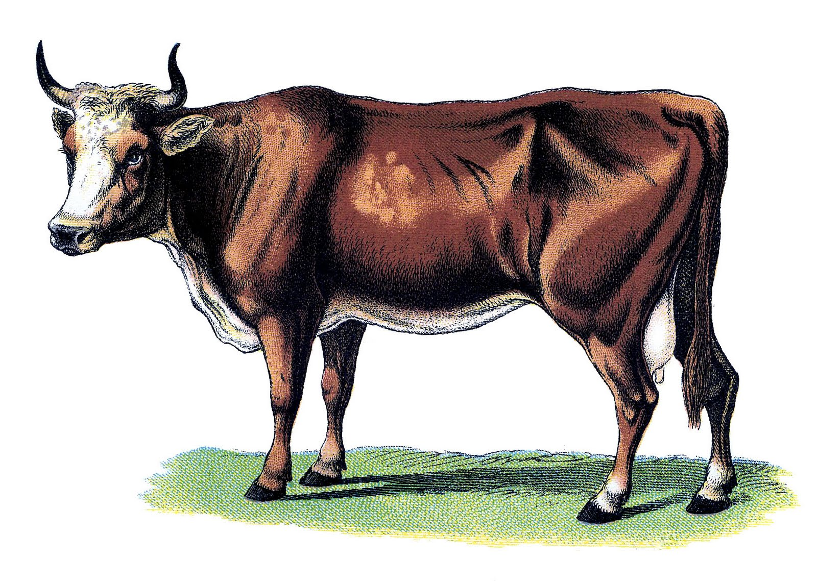 Cow clip art vintage. Graphic image beautiful the