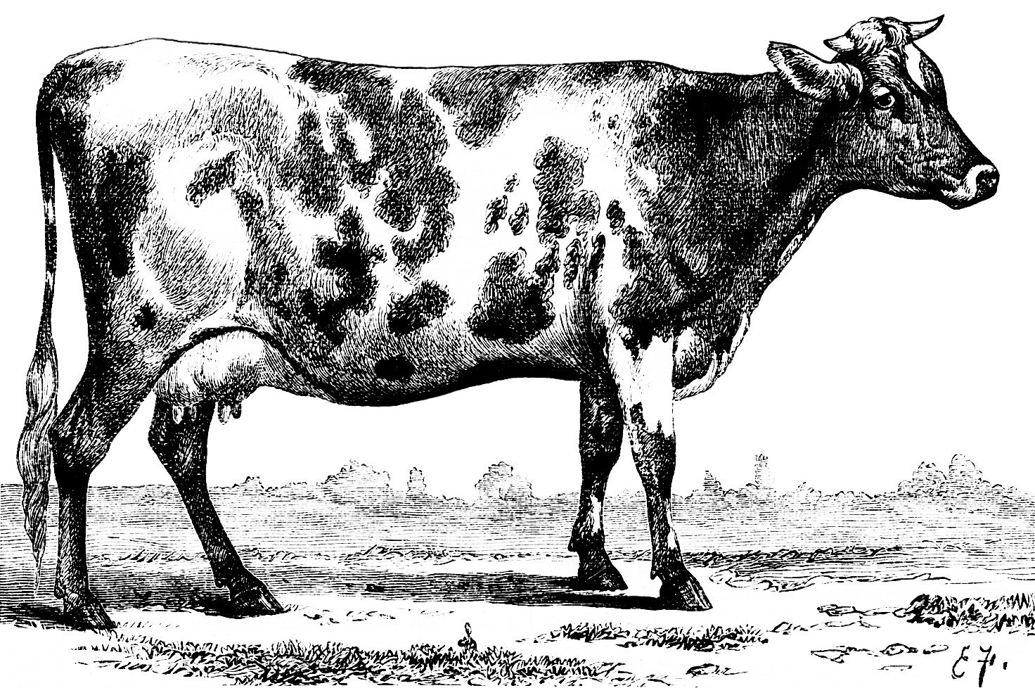 Illustration jersey ayrshire sketch. Cow clip art vintage free download