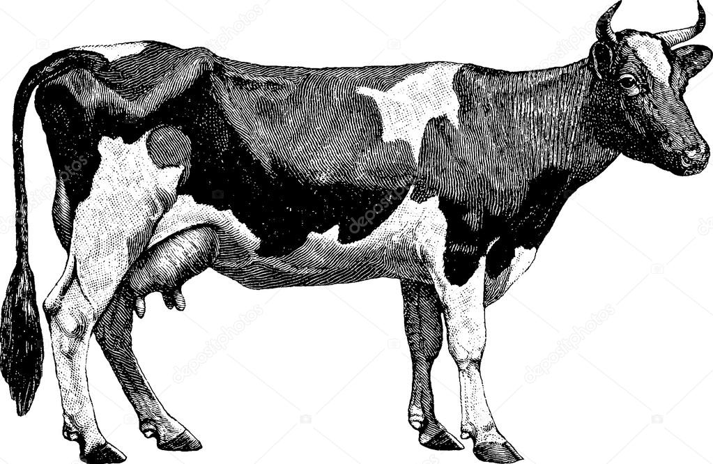 Cow clip art vintage. Drawing stock photo unorobus
