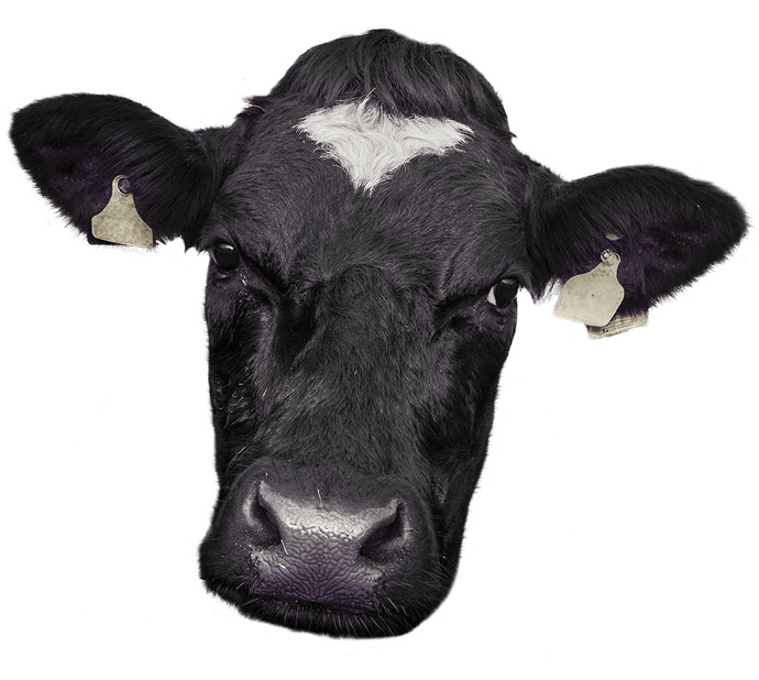 Cow face png. Contact us purple training