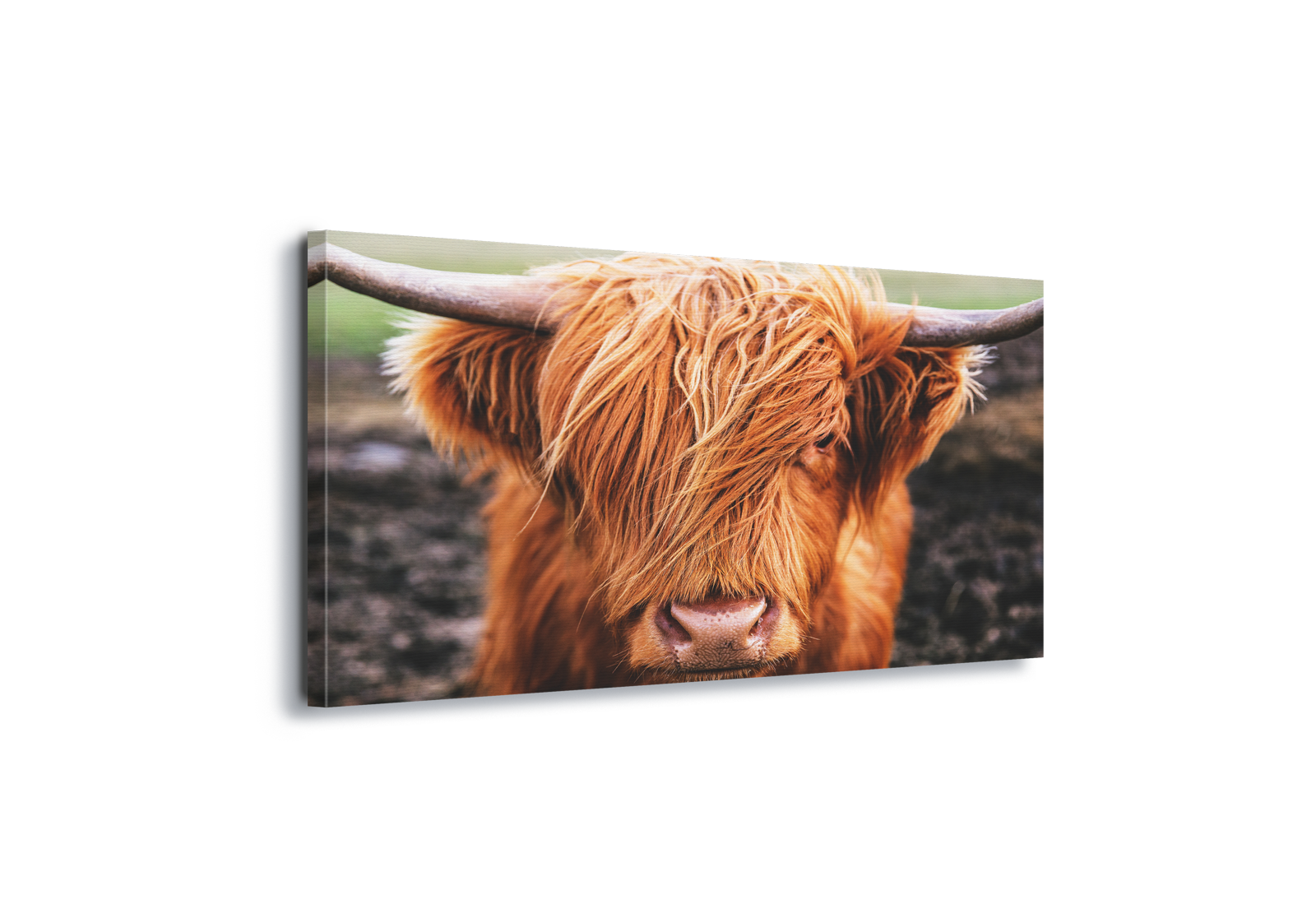 Cow horns png. Highland cattle scotland canvas