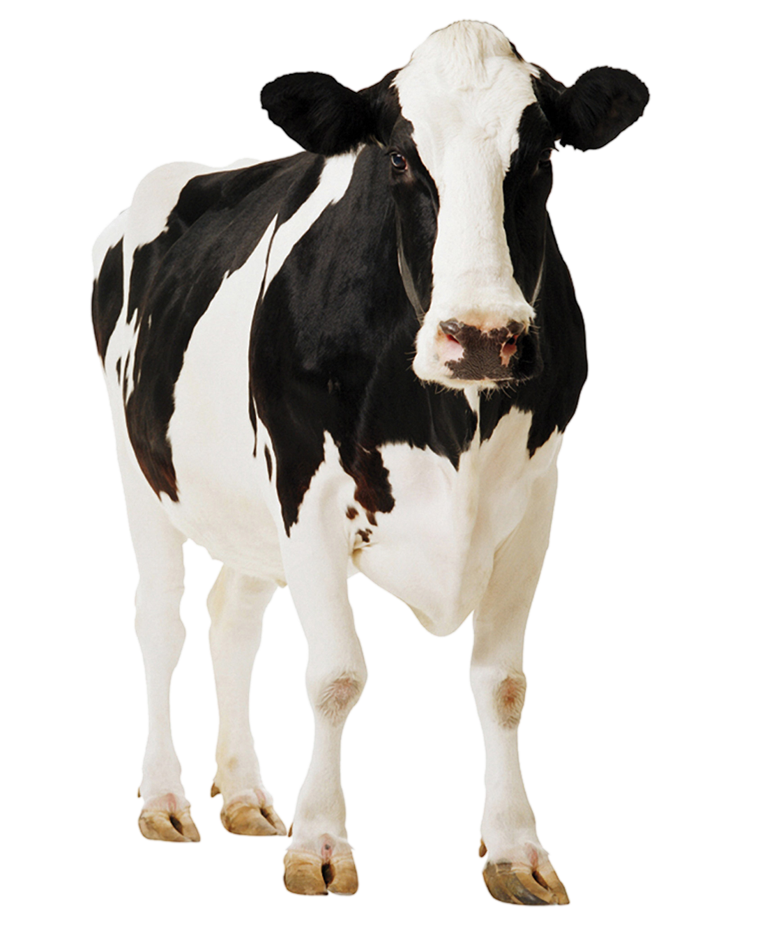 Cow png. Baby hd transparent images