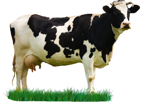 Cow png. Hd transparent images pluspng
