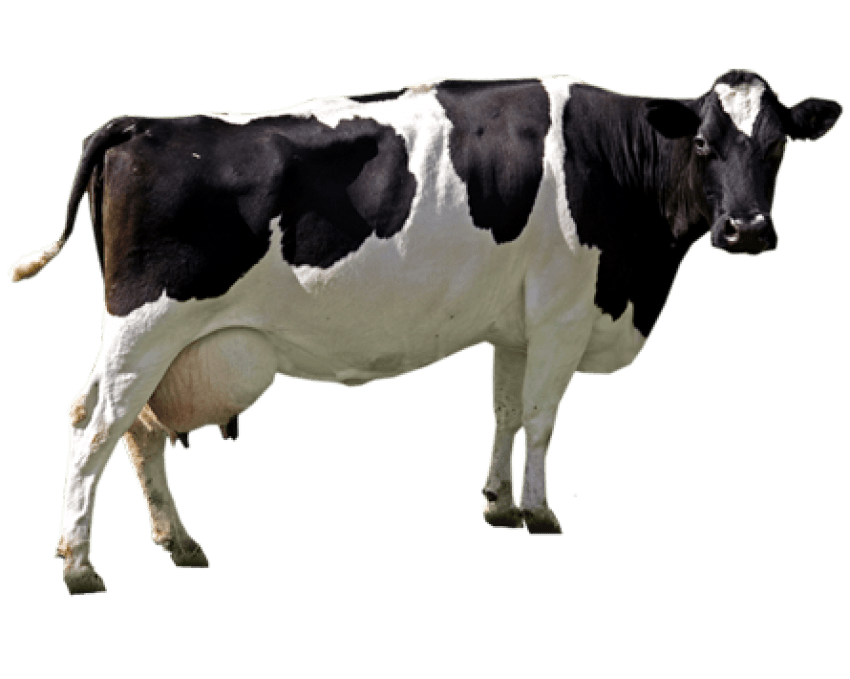Cow png. Free images toppng transparent