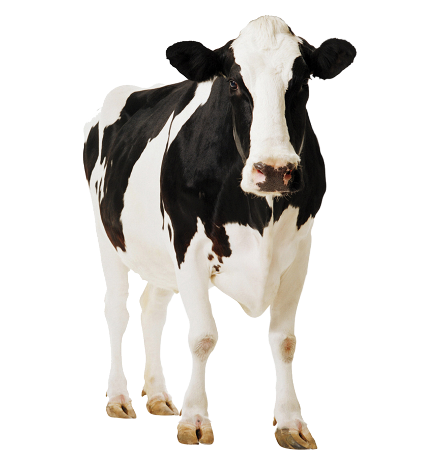 Cow png. By kasirun hasibuan on
