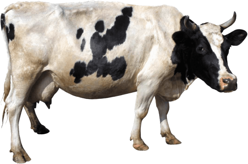 Cow png image. Free images toppng transparent