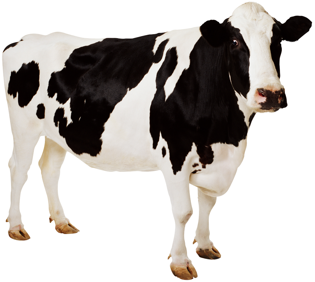 Cow png image. Free cows picture download