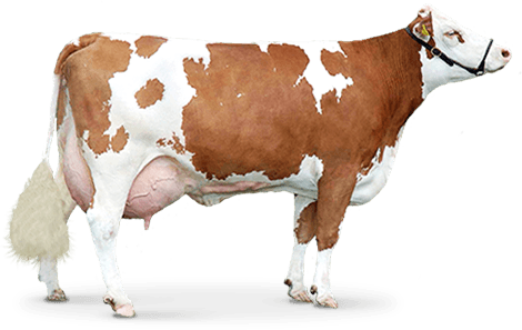 Cow png image. Brown transparent images pluspng