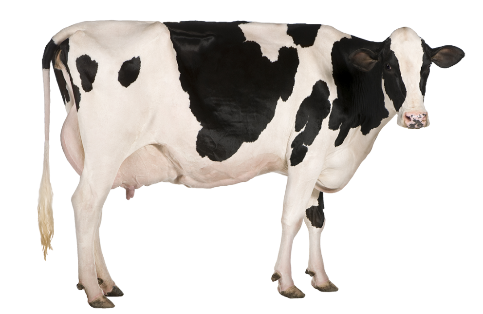 Cow png image. Dairy arts
