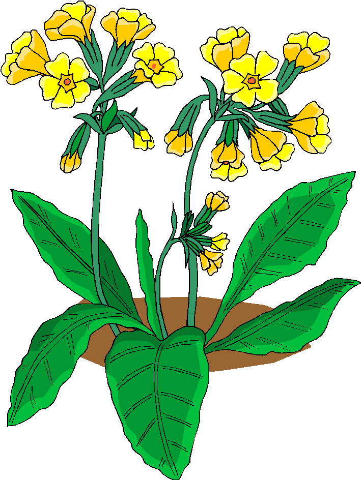 Cowslip. Free flowers images download