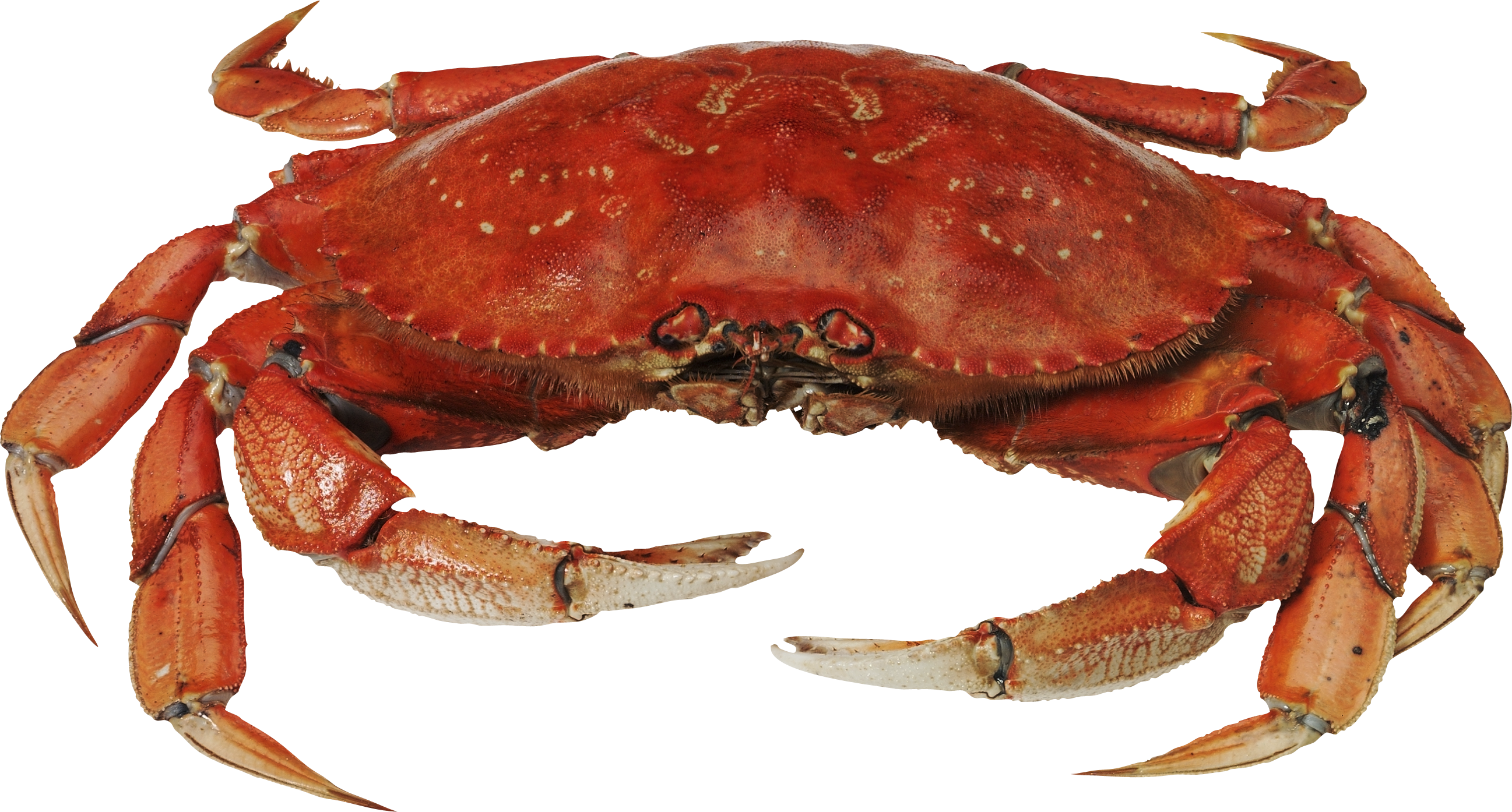 Crab claws png. Images free dowbload