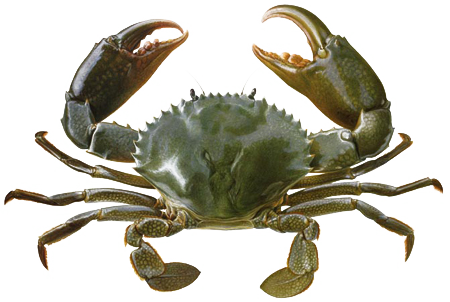 Transparent background mart. Crab png vector royalty free stock