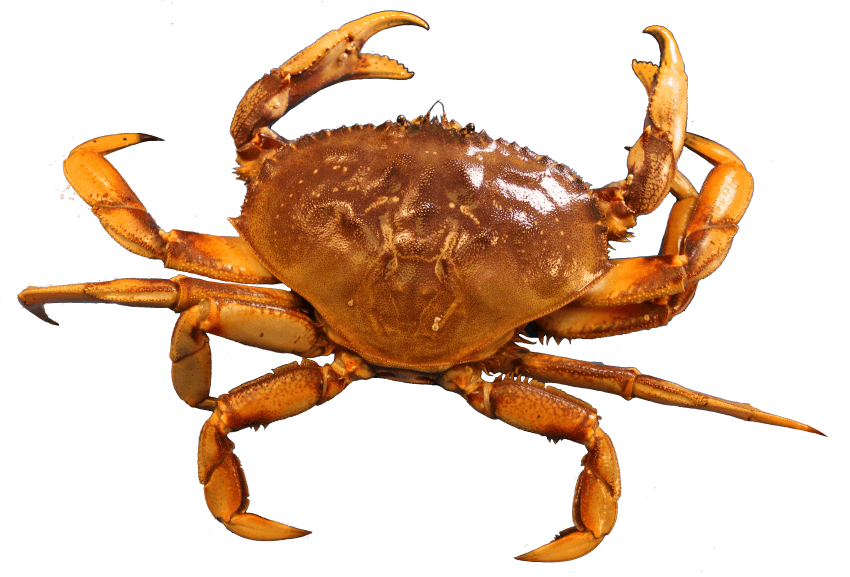 Crab png. Free images toppng transparent graphic black and white download
