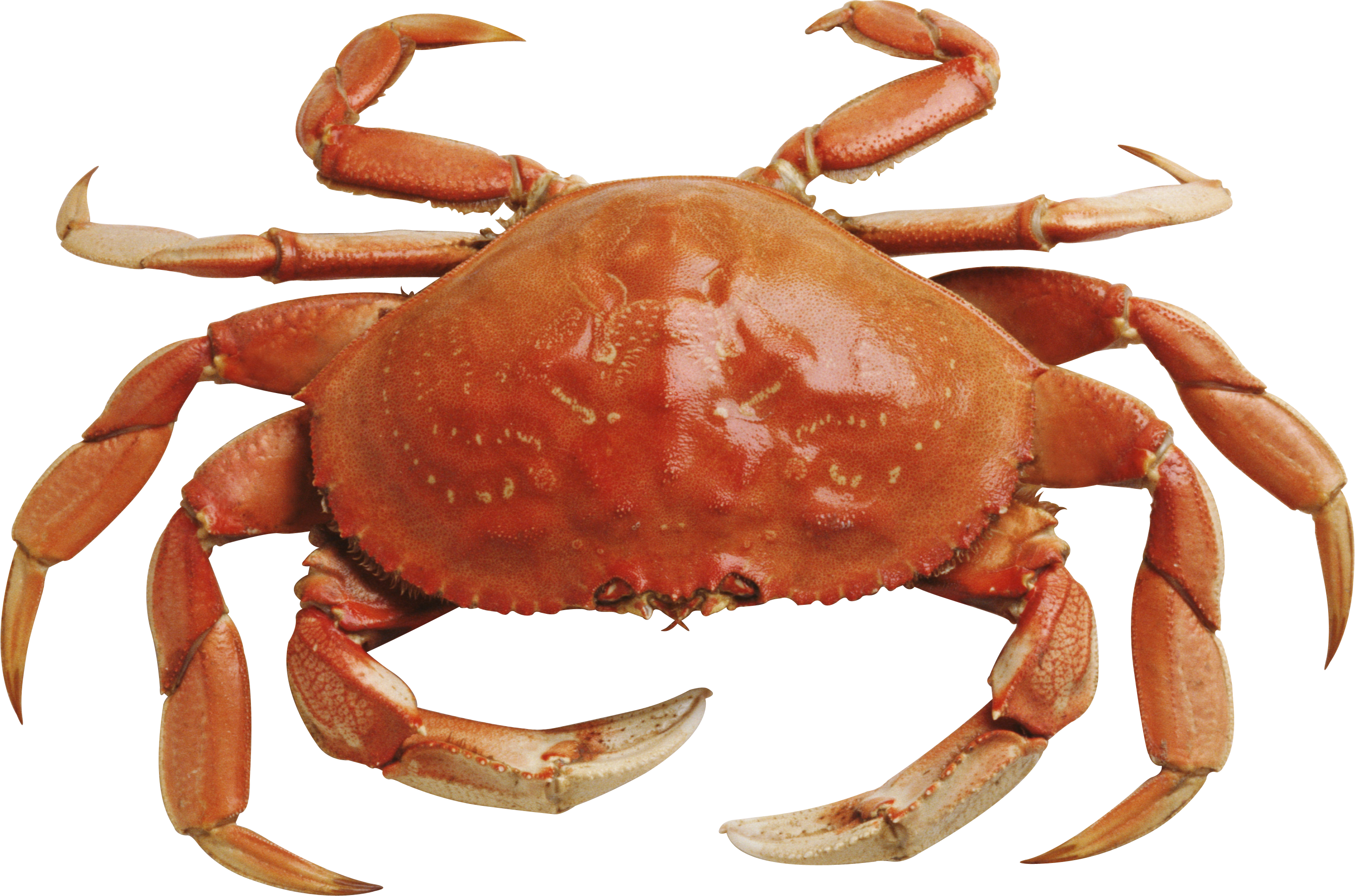 Crab png. Images free dowbload