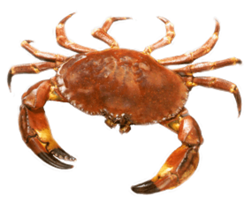 Crab transparent png. Free images toppng
