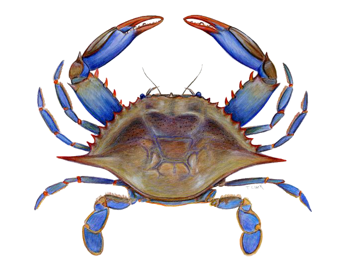 Crab vector png. Picture peoplepng com