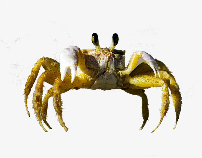 Crabs clipart crab claw. Crawling claws png image