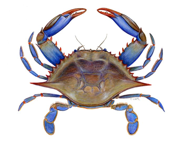Crabs clipart crab claw. Best comic images