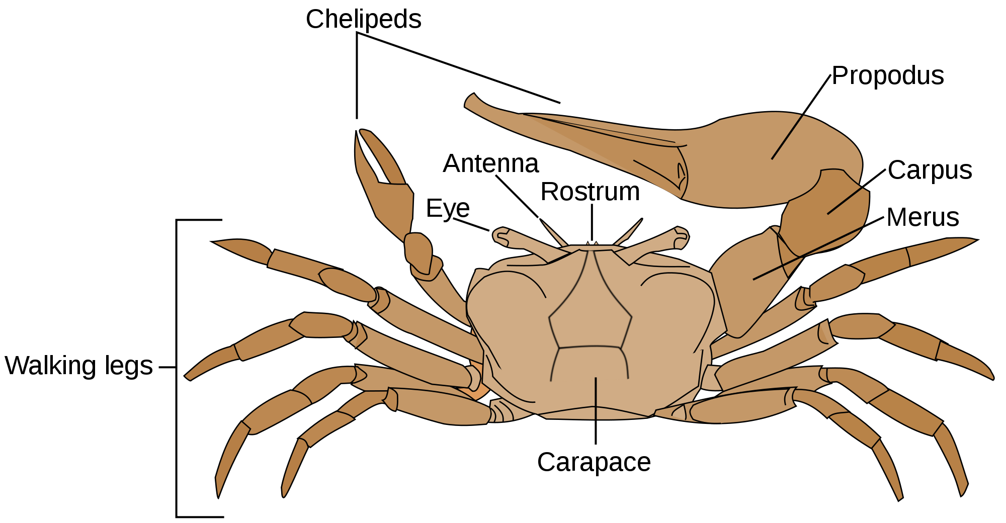 File fiddler crab anatomy. Fiddle drawing svg clipart freeuse stock