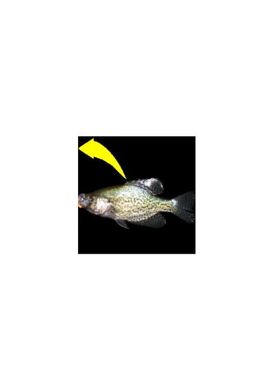 Crappie vector fish. File lv for userbox