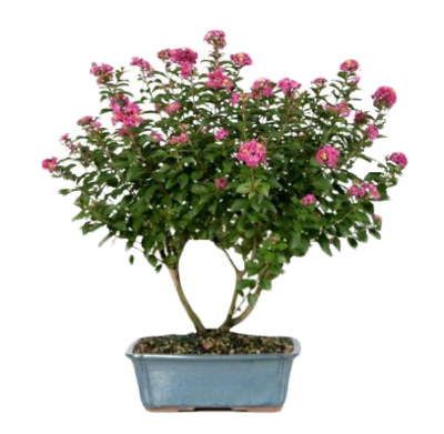 crate myrtle png